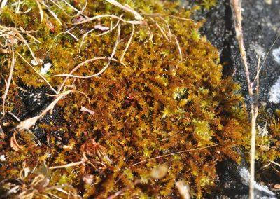 Triquetrella californica