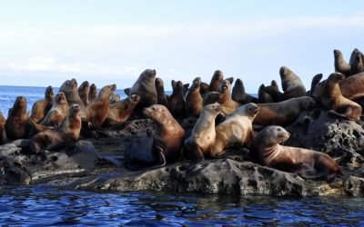 A Steller Sealion's Diet